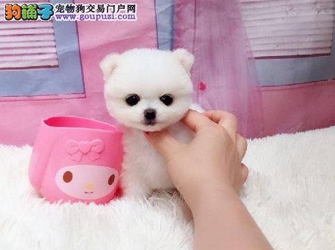 出售向上突起的小嘴博美幼犬 品种优良 健康
