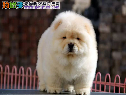 高品质赛级黄松狮 毛量爆好 肉嘴松狮幼犬