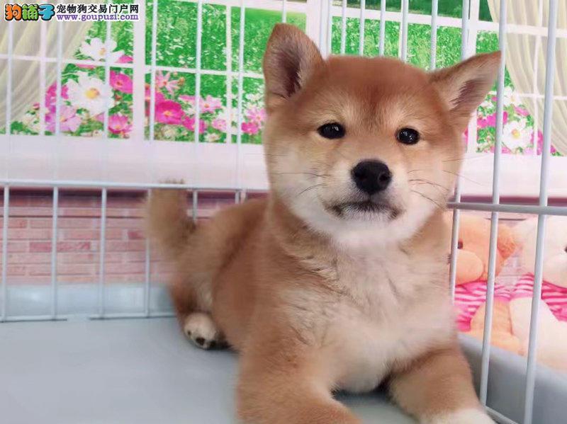 实拍现货视频一柴犬幼犬保健康保纯种签售后协议
