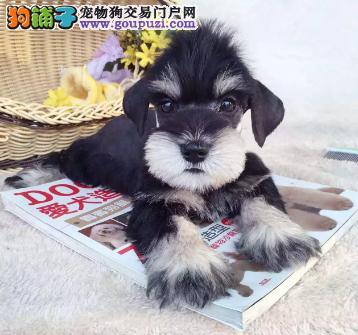 雪纳瑞价格 纯种雪纳瑞犬多少钱 雪纳瑞图片