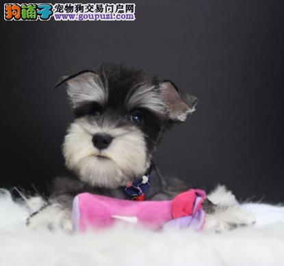 正规狗场出售雪纳瑞幼犬纯种健康同城可送货上门