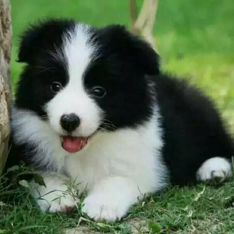 虎威犬舍白金汉宫血系的幼犬边境宝宝找新家