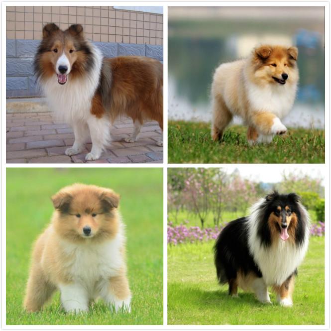纯种苏格拉牧羊犬 公母都有 购犬有礼
