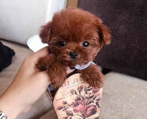 新盟皇家犬业出售纯种泰迪熊玩具、茶杯可爱至极