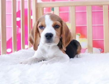 皇家犬舍米格鲁冠军级后代高品质幼犬宝宝免疫后待售