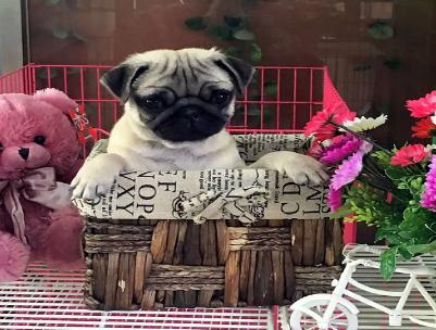 新盟皇家犬业纯种巴哥幼犬出售'虎头满脸褶子