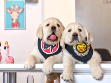 皇家拉布拉多100天大幼犬多只待售 驱虫免疫已做完