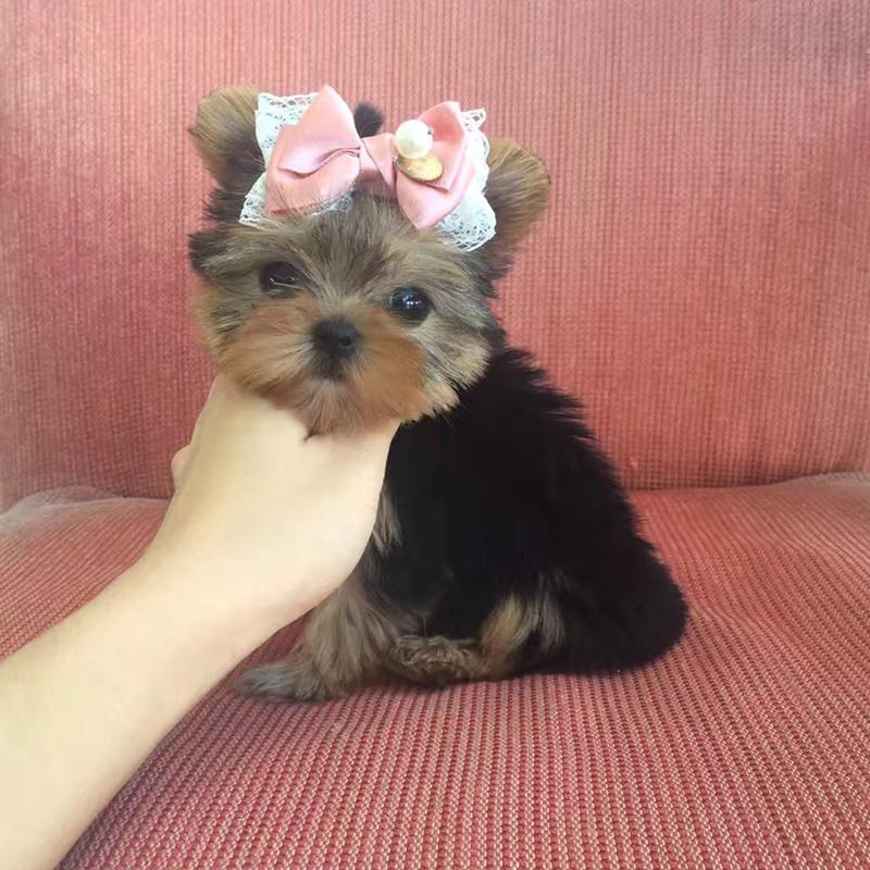 出售纯种约克夏幼犬,保证血统,身体健康,