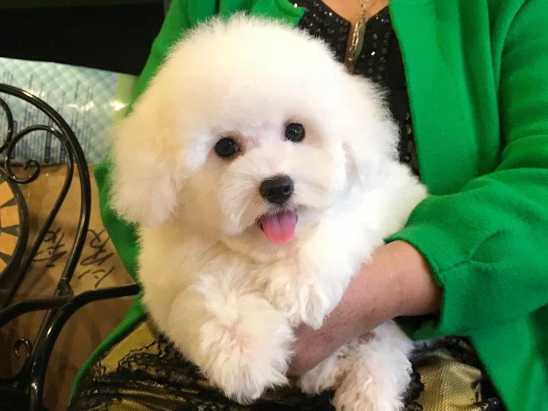 名犬俱乐部有法国带血统卷毛比熊待售中
