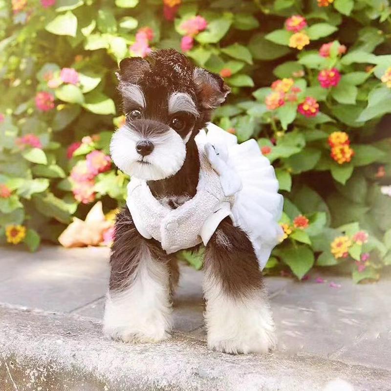 北京名犬俱乐部特价出售极品小雪宝宝