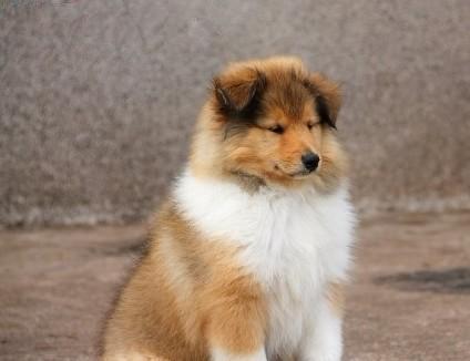 极品苏格兰国犬 牧羊宝宝找新家,欢迎参观选购