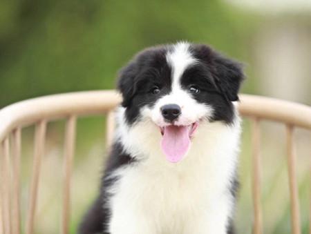 白金汉宫血系的幼犬边境宝宝找新家