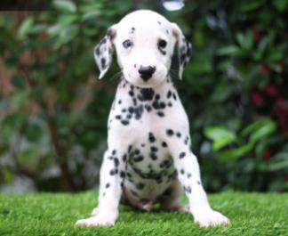 赛级斑点狗狗宝宝出售啦....