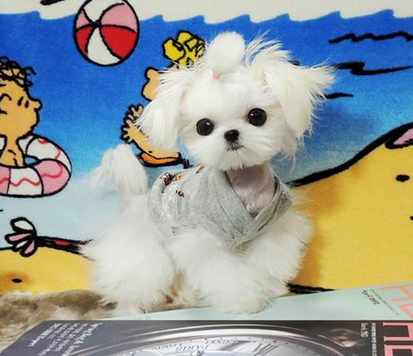 出售纯种马尔济斯幼犬 健康保证 信誉保证 诚信保证