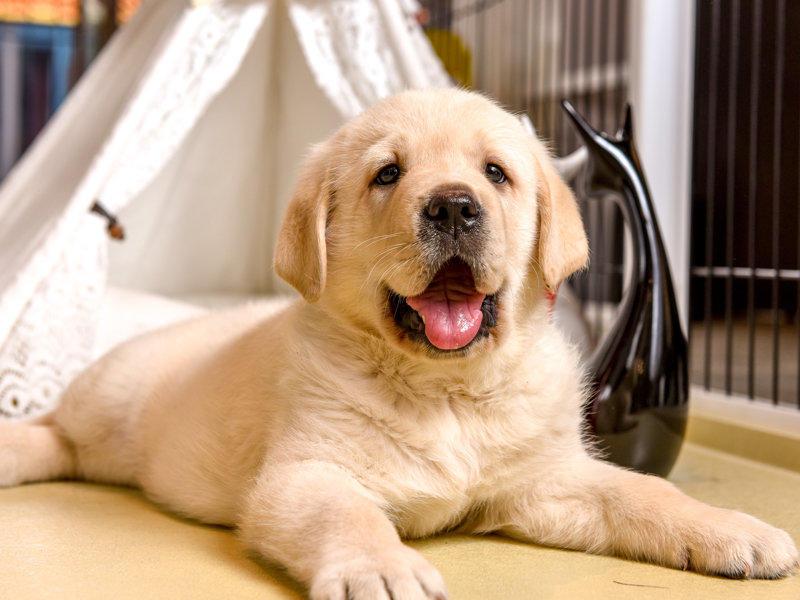 导盲犬.伴侣犬.初级饲养的首选拉布拉多