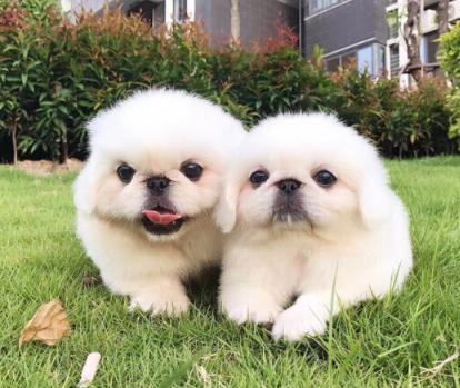 纯种宫廷京巴幼犬出售 保质保健康 有协议有保障