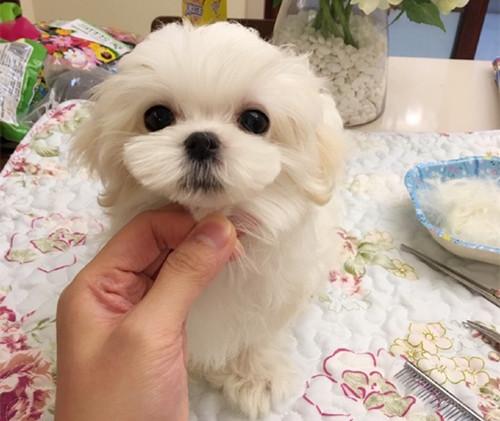 最受欢迎的马尔济斯犬幼犬出售