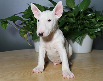 具凶猛性,快速敏捷的狗狗牛头梗幼犬出售