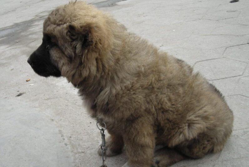 如何挑选出一只健康的高加索犬,最全面的知识大盘点5