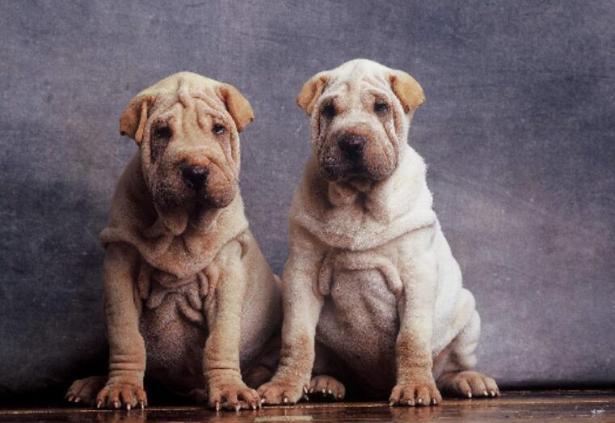 怎样挑选沙皮狗,以下几点可以帮到你6