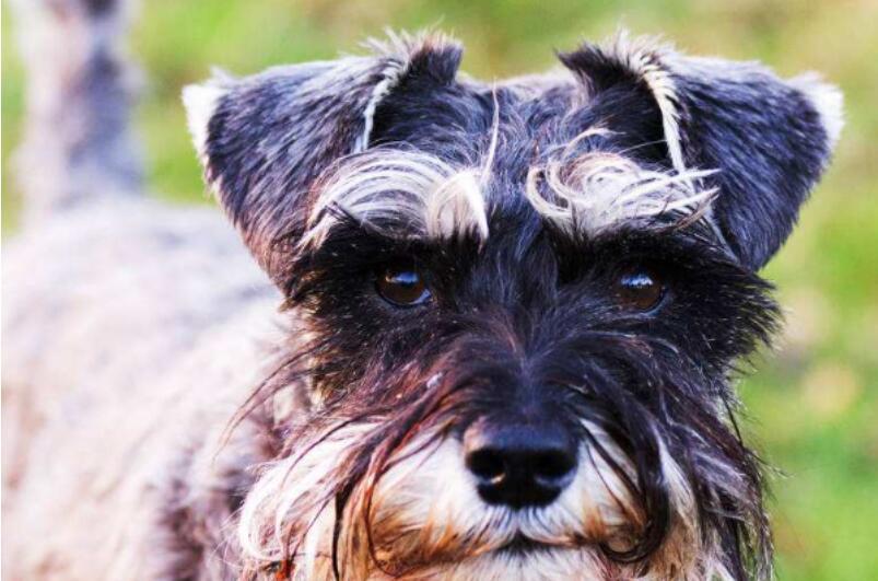 挑选雪纳瑞,一定要避免这几点,才能够挑选优质的狗狗5