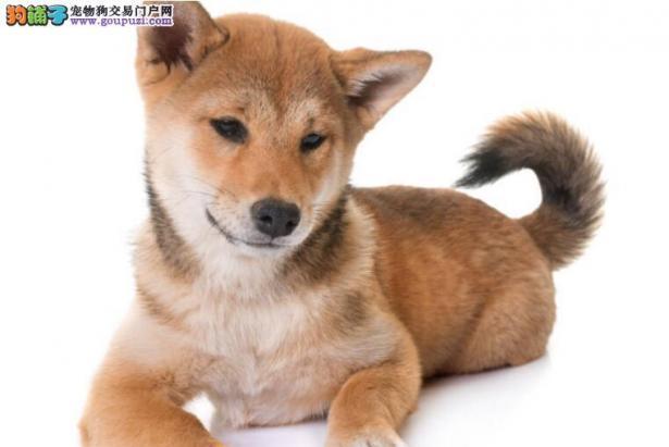 新手想养秋田犬,可以从哪几个方面做功课6