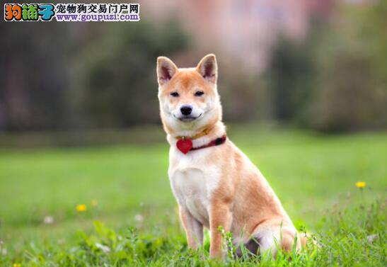 男子见柴犬太肥将它送到乡下,狗子却越长越胖5