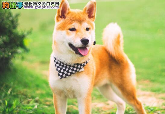 男子见柴犬太肥将它送到乡下,狗子却越长越胖6