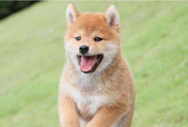 这条柴犬真感人,主人车祸去世两个月,它一直不肯走6