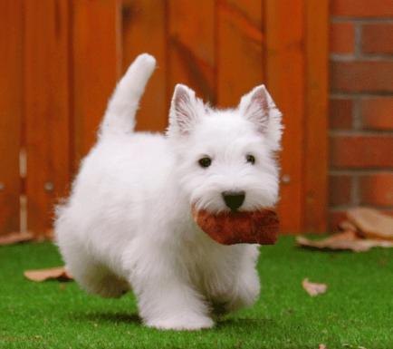 纯种西高地幼犬正规养殖基地出售 健康质保 多只可选