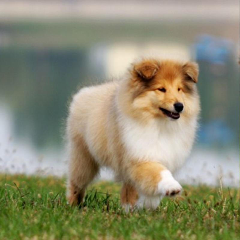 武汉专业繁殖基地纯血统优质苏牧幼犬三针齐签质保可送