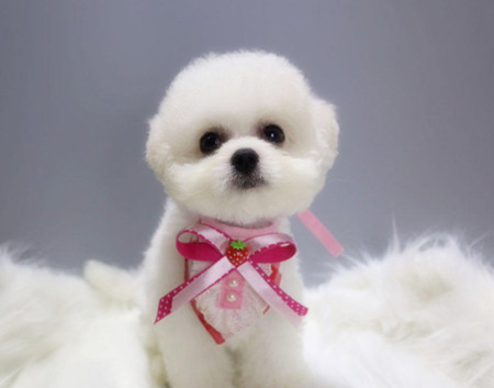 本犬舍直售/2 4月龄比熊幼犬/签健康质保合同