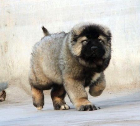 出售高品质高加索幼犬 欧尚犬舍,CKU认证犬业。