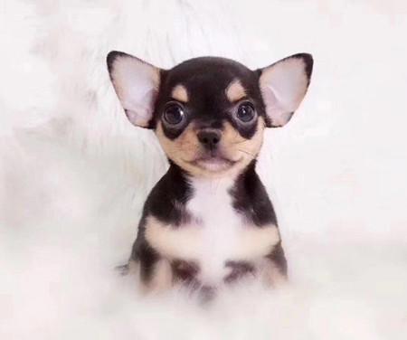 最小犬种吉娃娃/吉娃娃狗/袖珍吉娃娃犬