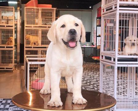 拉不布拉多犬 拉布拉多犬舍 专业繁育fci品质保障