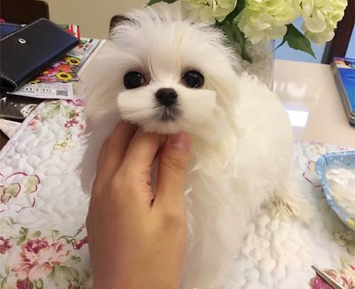 专业繁育高品质马尔济斯犬 可爱至极
