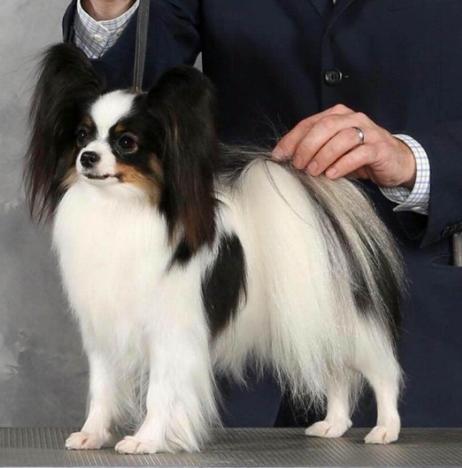 经典黑白色长毛蝴蝶犬 蝴蝶幼犬 蝴蝶犬多少钱