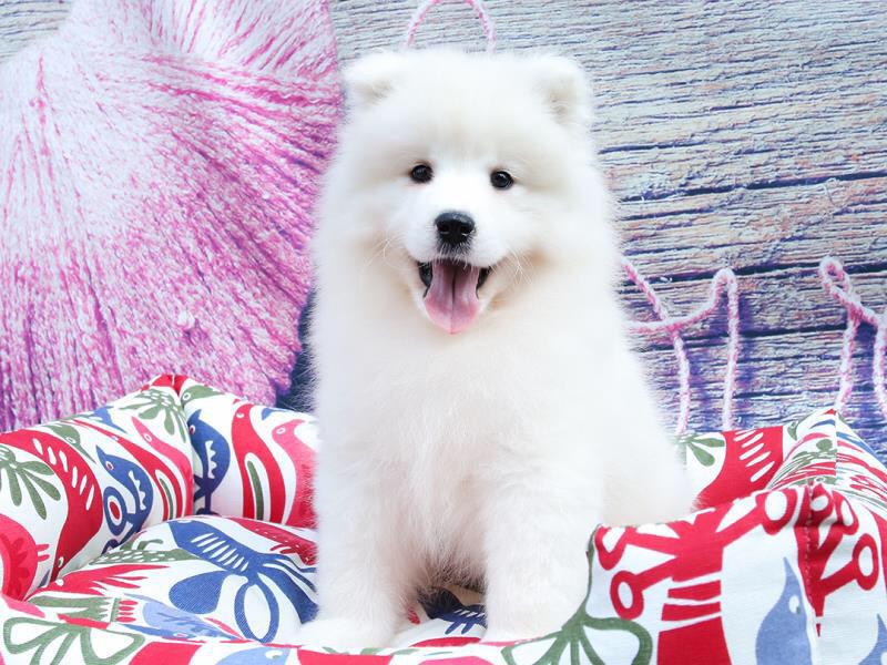 犬舍繁育高品质赛级萨摩耶犬 幼犬待售 萨摩犬