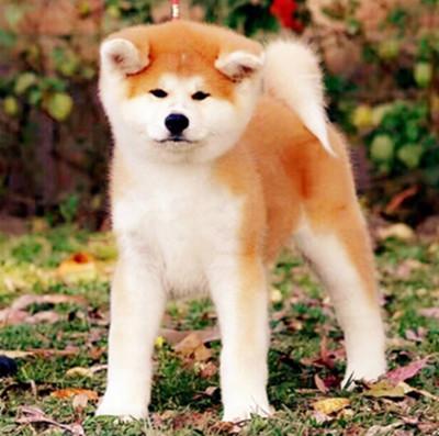 FCI认证国际秋田犬绝对信誉。