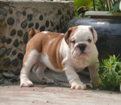 四肢结实,肌肉发达,骨格硬朗的狗狗 斗牛