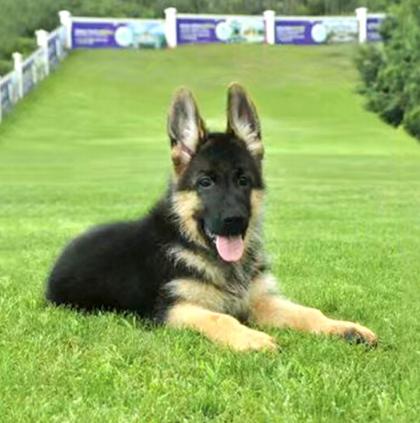 显得雄壮、或显得柔美的狗狗 德牧