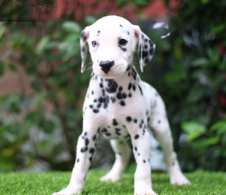 中美宏泰犬舍基地常年出售纯种3月左右斑点狗犬