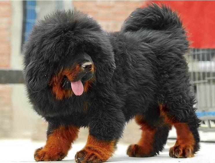 具有粗犷、剽悍美、刚毅的心理承受能力的狗狗 藏獒
