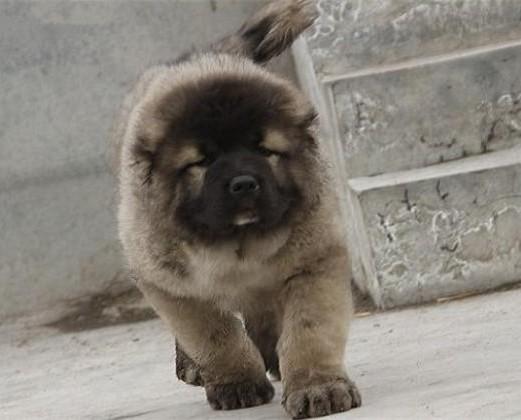 出售纯种高加索幼犬 健康保证 信誉保证 诚信保证