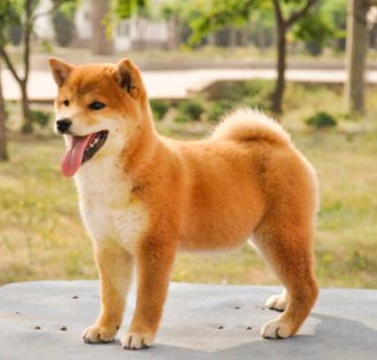 中美宏泰犬舍直销柴犬FCI认证犬业。