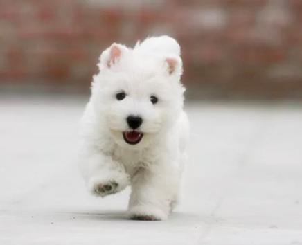 强大的力量和活力的组合的狗狗 西高地