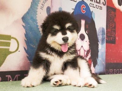 纯种阿拉斯加幼犬 保证血统 购犬合同健康保三年