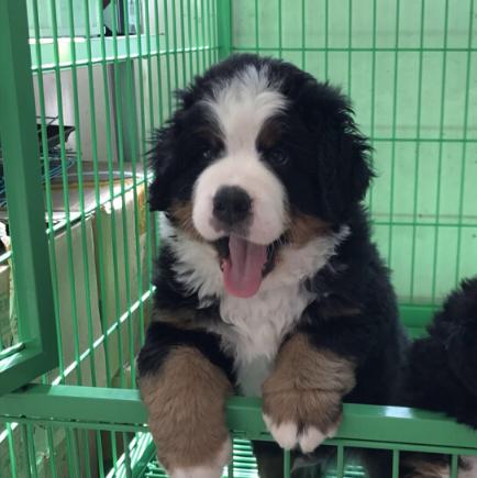 犬场售伯恩山幼犬 北京可送货上门挑选疫苗齐全