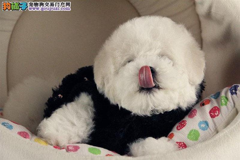 韩国引进大眼睛甜美脸型比熊幼犬 北京送狗上门挑选