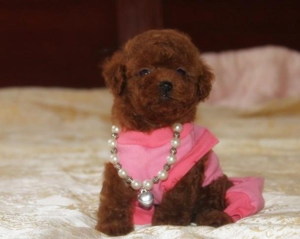 北京哪里有卖泰迪的多少钱一只泰迪犬价格 买泰迪犬